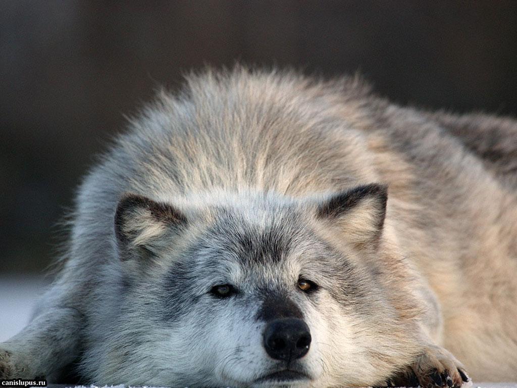 http://wolf-911.narod.ru/426.jpg